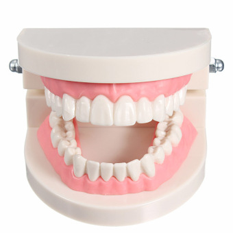 1 Pack of Dental Dentist Orthodontics Teeth Tooth Model Pink Flesh Standard - Intl