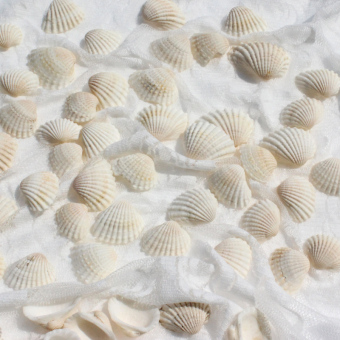 Harga Small shells white natural white about shell conch